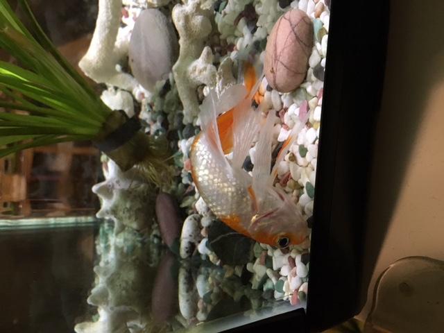 Sick_fish.JPG